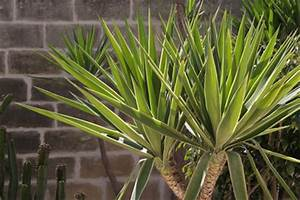 Yucca Palme Blüht : yucca palme hat braune spitzen was tun ~ Lizthompson.info Haus und Dekorationen