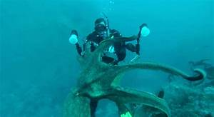 Giant Octopus Attacks Diver | www.pixshark.com - Images ...