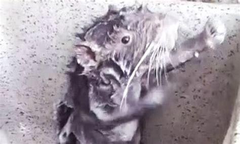 rat showers    human   bathroom sink  peru