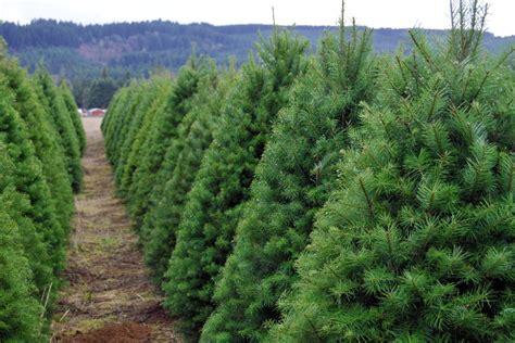 ultimate guide   cut christmas tree farms