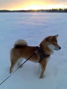 shiba inu hiro on ice 2 flickr photo sharing