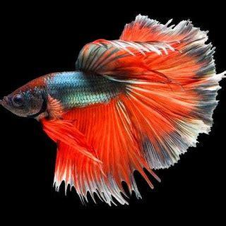 ikan cupang hias tercantik bagus indah versi