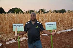 Drought and heat tolerant maize tackles climate change in ...