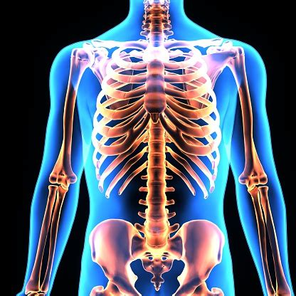 They are twelve in number on either side; Rib Cage Pictures, Images and Stock Photos - iStock