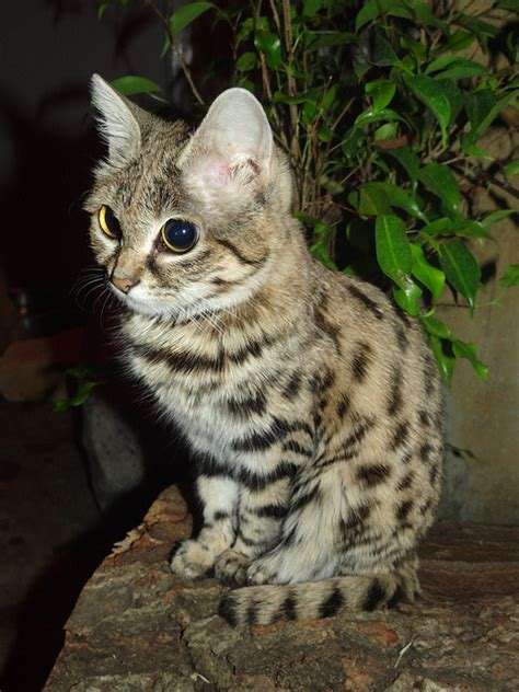 Black Footed Cat Tumblr