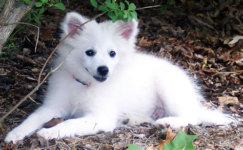 miniature american eskimo shedding july 2011 list of dogs breeds