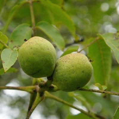 walnussbaum wachstum pro jahr walnussbaum sorten die 9 besten nussarten im vergleich