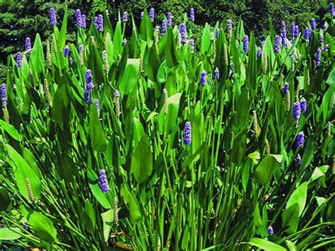 Teichpflanzen Fuer Verschiedene Wasserzonen by Teichpflanzen Einzelpflanzen Teichpflanzen