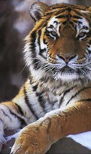 So majestic!   Tiger, Majestic animals, Cuddly animals