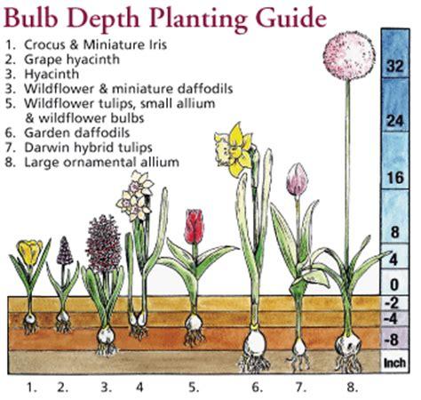 how to plant a flower bulb howbert mays garden centre