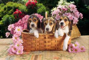 Beagle Puppies with Flowers