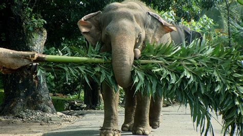 elephant cuisine elephants images backgrounds hd wallpapers free