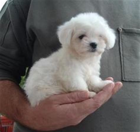 1000 ideas about small hypoallergenic dogs on pinterest