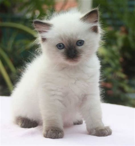 65+ Sweet Ragdoll Cat Photos Golfiancom