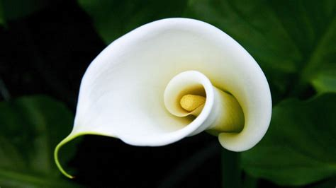 calla flower calla lily flowers hd wallpaper 2015