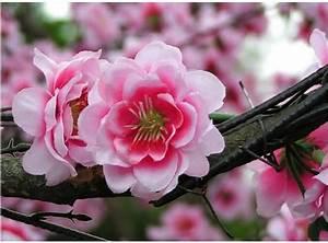 46 Attractive Cherry Blossom Flowers - Golfian.com