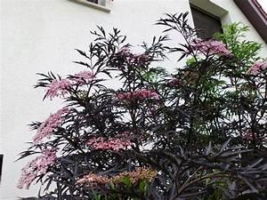 Schwarzer Holunder Black Beauty : sambucus nigra schwarzer holunder 39 black lace ~ Michelbontemps.com Haus und Dekorationen