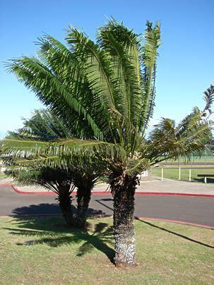 Palmeira-sagu - Cycas circinalis - Jardineiro.net