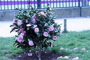 Comment Planter Un Camélia : ou planter un camelia ~ Melissatoandfro.com Idées de Décoration