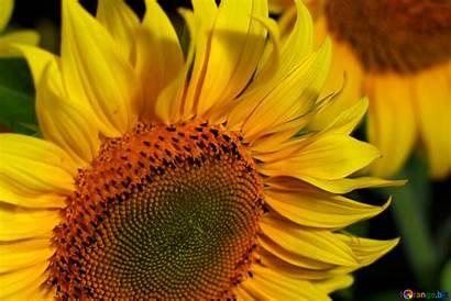 Screensavers Flower Flowers Sunflower Desktop