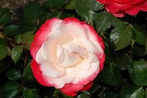 Alte Rosensorten Stark Duftend : romantische rosen pflanzenfreunde ~ Michelbontemps.com Haus und Dekorationen