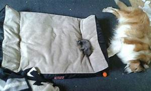 10 funny photos of cats stealing dog beds cuteness overflow With big fluffy dog bed
