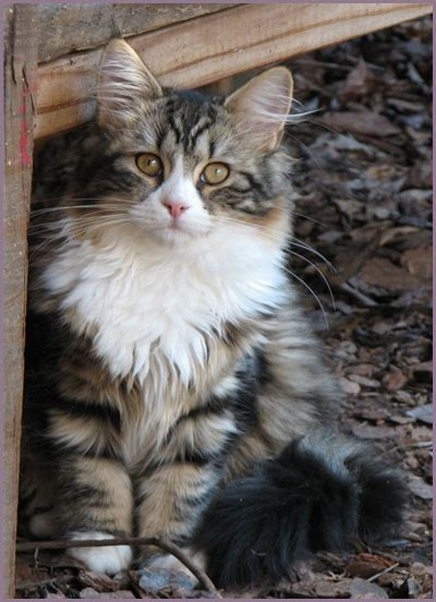 siberian cats golden dawn siberians