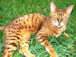 Bengal Cat One of The World's Most Expensive Cat ...