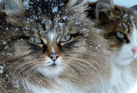 Can You Handle The Cuteness Of Siberian Cats?