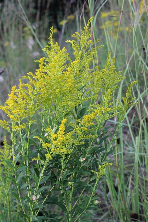 ragweed images ragweed identifying ragweed vs goldenrod momcrieff