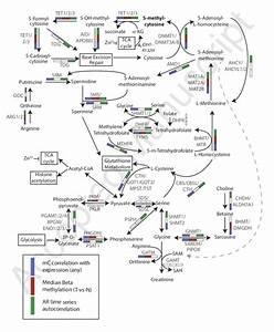 Schematic Representation Of Metabolic Pathways That Impact