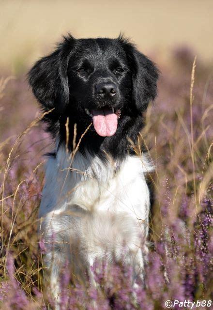 stabyhouns images  pinterest doggies animais