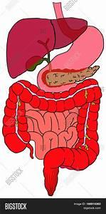 Diagram Small Intestine Structure