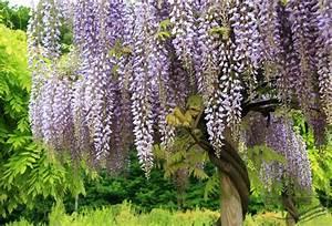 Zimmerpflanze Weiße Blüten : ein wasserfall von bl ten ~ Markanthonyermac.com Haus und Dekorationen