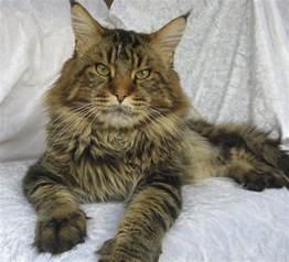 brown tabby cat leonardo brown classic tabby maine coon