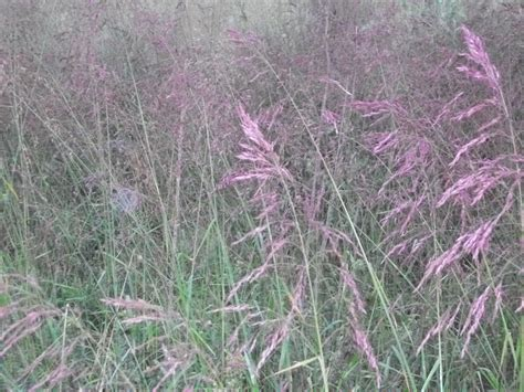 grass purple purple top tridens flavus seed for sale lorenz s ok seeds llc