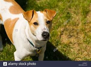 The gallery for --> Brown And White Dog