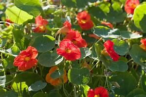 Blumen Für Sonnigen Standort : kapuzinerkresse diesen standort mag sie am liebsten ~ Michelbontemps.com Haus und Dekorationen