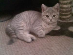 blue cream tabby BRITISH SHORT HAIR | Gainsborough ...