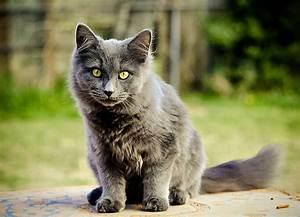 savannah cat chart topp 10 största kattraserna