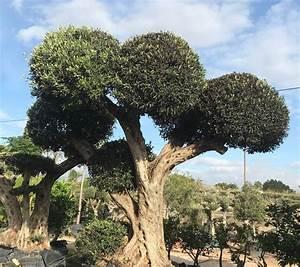 Gros Pot Pour Olivier : vente de gros oliviers bonsa ~ Melissatoandfro.com Idées de Décoration