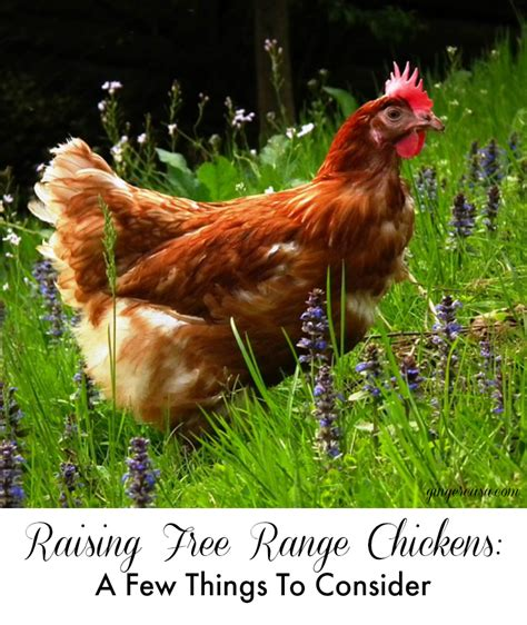 raising free range chickens a few things to consider