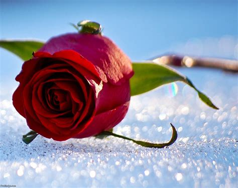 Beautiful Rose Pictures Collection For Free Download