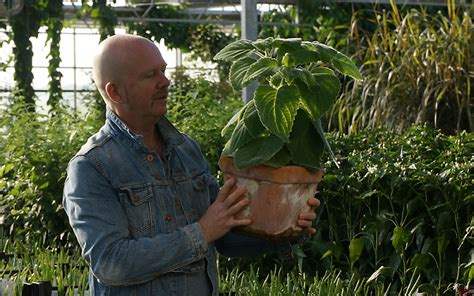 australisches zitronenblatt pflanze plectranthus