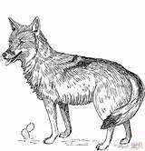 Coyote Coloring Pages Printable Games sketch template