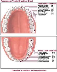 Tooth Eruption Chart Printable