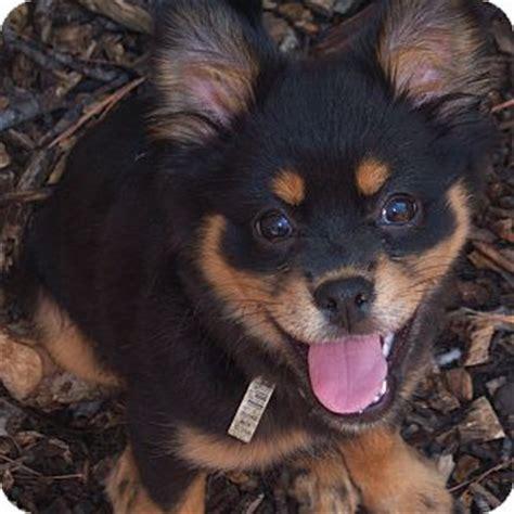 frankie adopted puppy richmond va pekingese