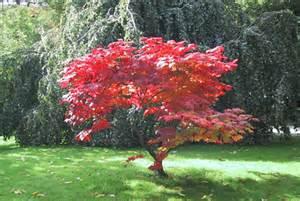 Petit Arbre Persistant : photos arbres d ornement ~ Melissatoandfro.com Idées de Décoration