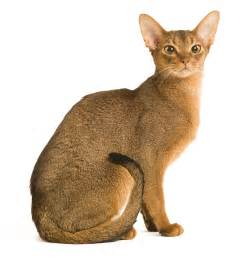 abyssinian cat for cat breeds abyssinian royal canin