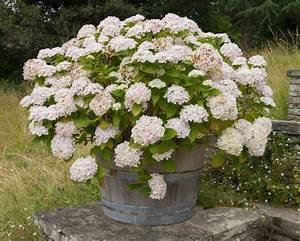 Hortensie Im Topf : hortensie einpflanzen alles zum pflanzen in topf beet plantura ~ A.2002-acura-tl-radio.info Haus und Dekorationen